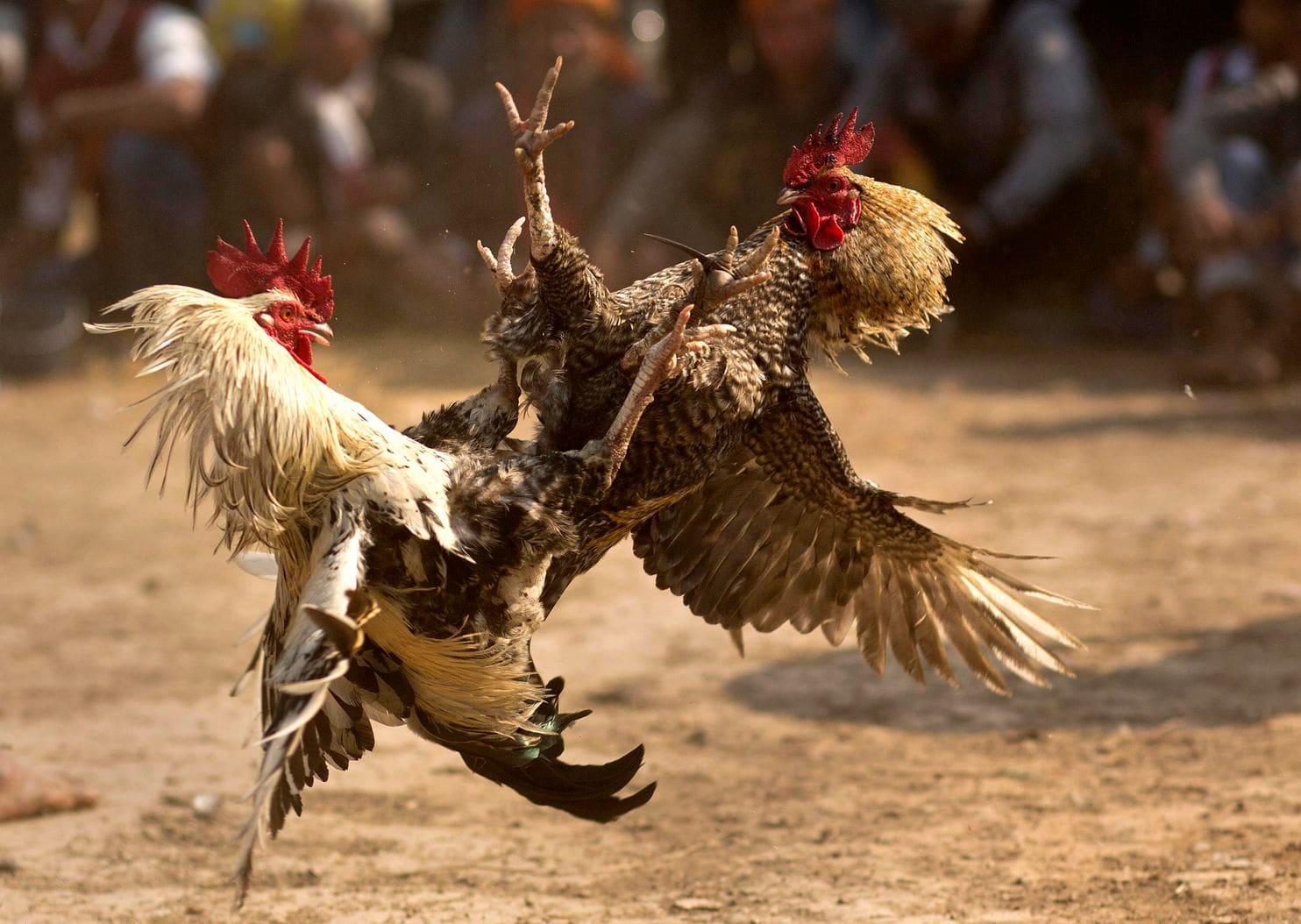 Bandar Judi Sabung Ayam S128 Terbaik